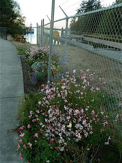 10 October, south end of boatyard, Gaura 'Whirling Butterflies'