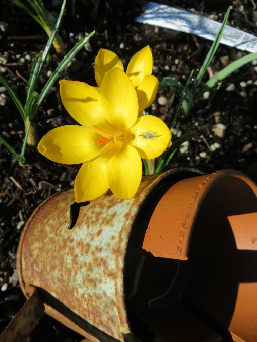 15 Feb in my garden, shiny glossy yellow crocus