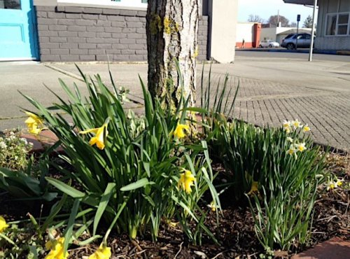 15 March, windblown narcissi by Azure Salon