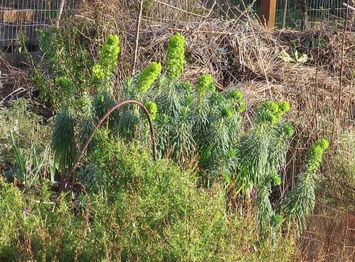 16 Feb: Euphorbia characias wulfenii