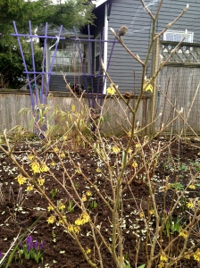 18 Feb: my young Hamamelis mollis