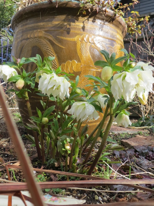 1 Feb: Hellebore in our garden