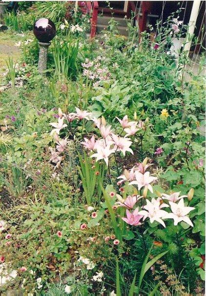 lilies at Shakti Cove