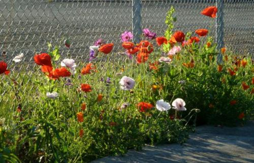 early August: poppies in the new section of the boatyard