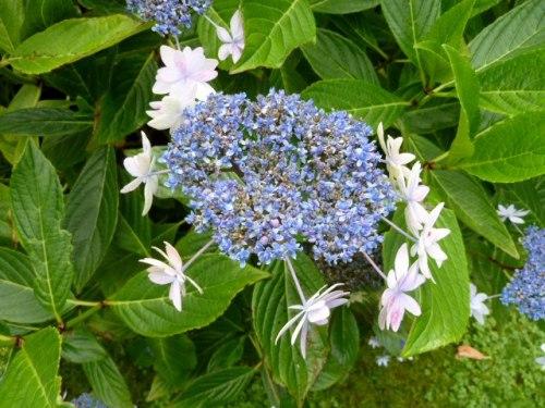 the flower of Hydrangea 'Izu No Hana'