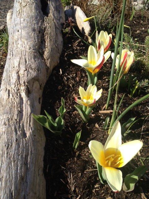 6 March, species tulips
