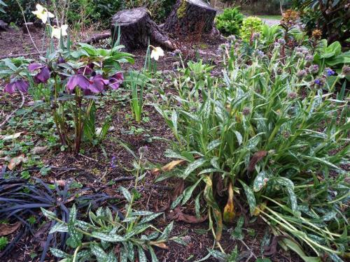 A Frame garden with Hellebore and Pulmonaria