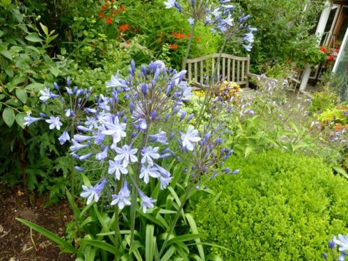 Agapanthus (lily of the Nile)
