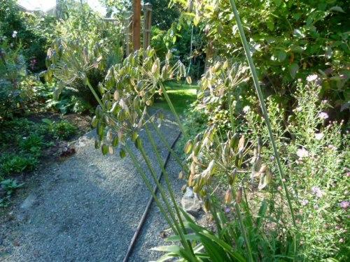 Agapanthus seedheads