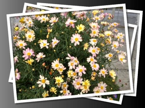 Agyranthemum 'Spring Bouquet'