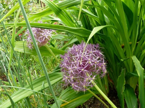 Alllum albopilosum (Star of Persia ornamental onion)