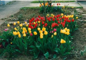 April tulips