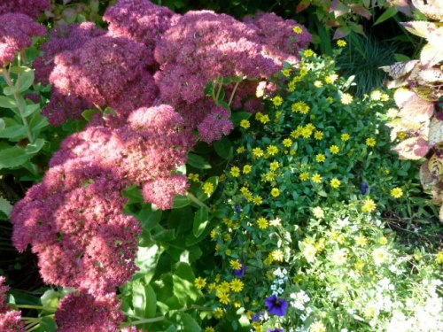 Sedum 'Autumn Joy' and Sanvitalia