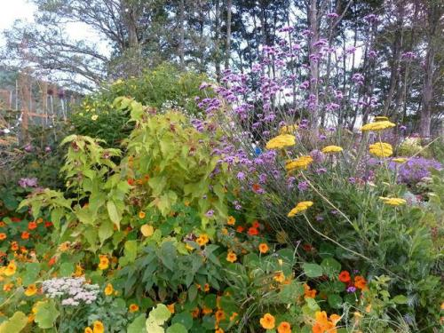 back garden with Achillea and Leycesteria 'Golden Lanterns'