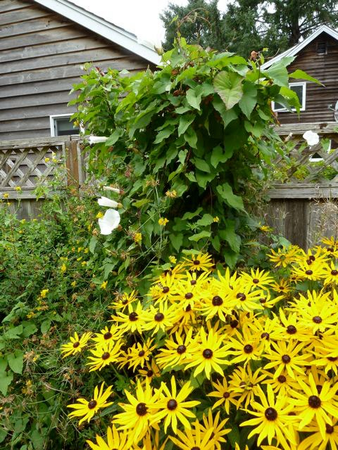 A new gardener might not know what a scourge the bindweed is.