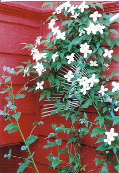 Clematis montana growing on a rake trellis on the east side of the house