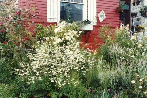front garden with Crambe cordifolia (left)