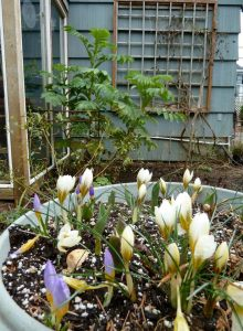 crocus backed with Melianthus major, 2-13