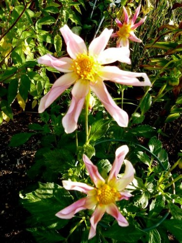 water lily dahlia, 29 Sept