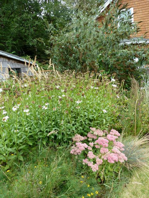 Sedum 'Autumn Joy', daisies, and buddleia