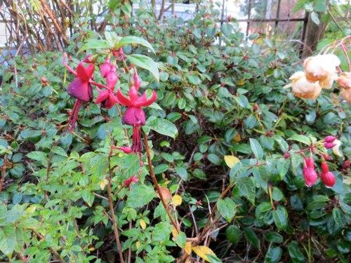 Hardy fuchsia 'Debron's Black Cherry'