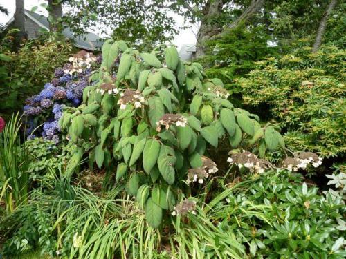 Hydrangea aspera closeup.  The leaves are soft in texture.