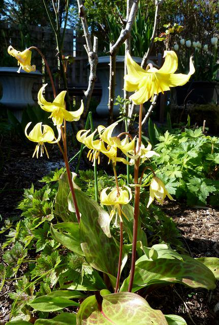 Erythronium (dogtooth violet)...from my mother's garden