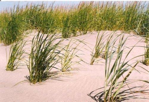 dunes of the Long Beach Peninsula