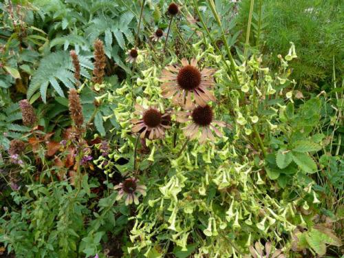 Echinacea 'Green Envy', 14 Sept