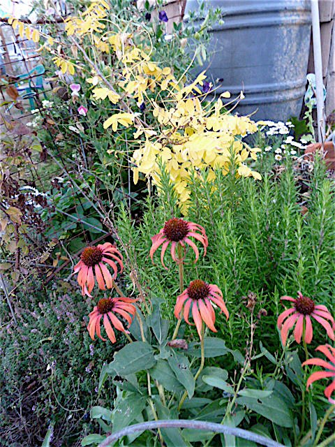 8 October, Echinacea 'Tomato Soup'