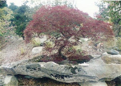 bonsai and a beagle
