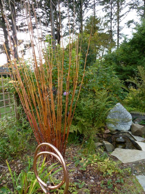 The showy autumn stems of the very tall Thalictrum 'Elin'