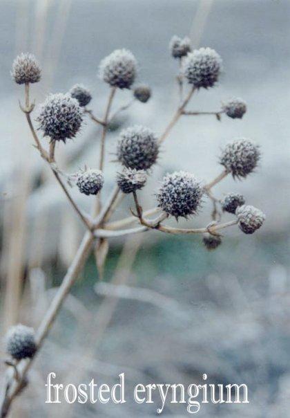 Eryngium in frost