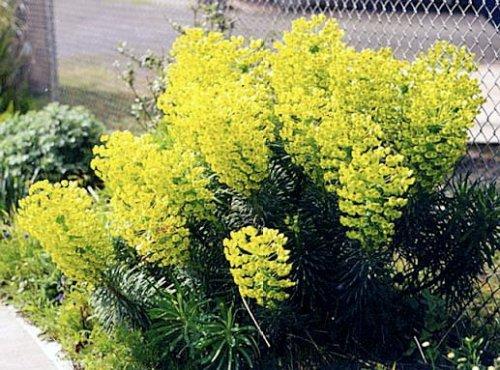 Euphorbia, boatyard, 2000