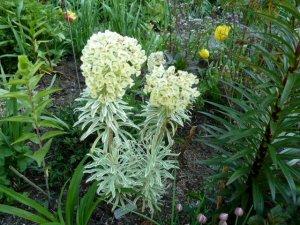 Euphorbia 'Tasmanian Tiger' still in bloom
