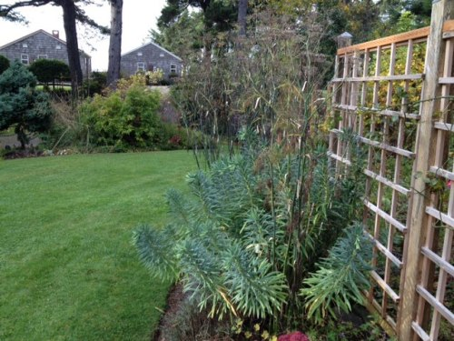 Euphorbia characias wulfenii and bronze fennel both have architectural folaige.