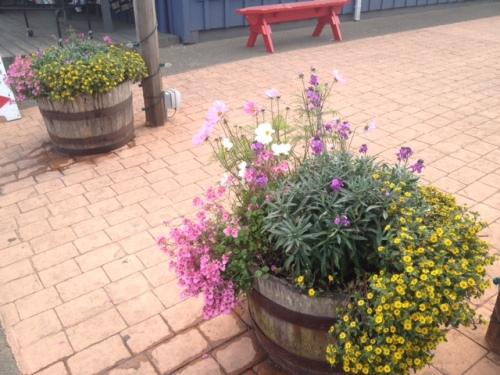 Fish Alley planters with yellow sanvitalia and cosmos and painted sage