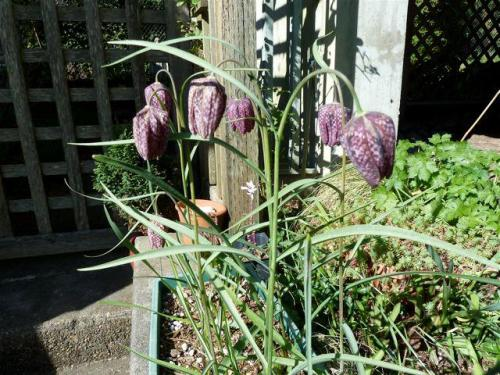 Fritillaria meleagris (checkered lily, guinea hen flower)