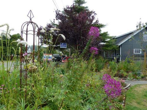 front garden, Sanguisorba and Cleome, 14 Sept