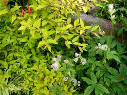 gold leaved Hardy Fuchsia and Astrantia