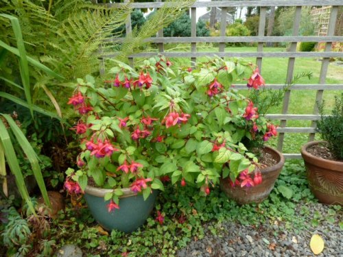 Fuschia containers by the driveway