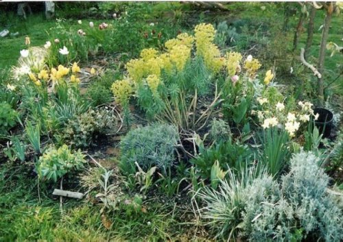 Euphorbia in lower garden