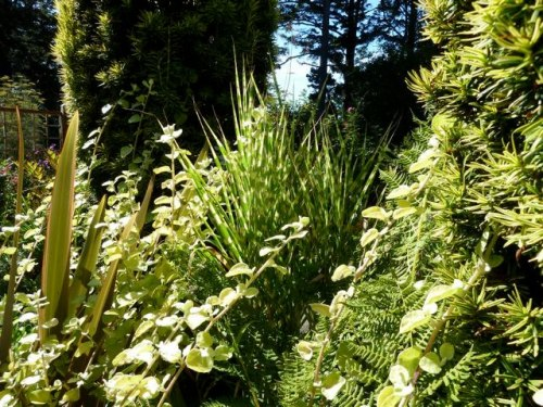 gold on gold in center of fenced garden:  Helichrysum 'Limelight', golden yew, Miscanthus 'Gold Bar'