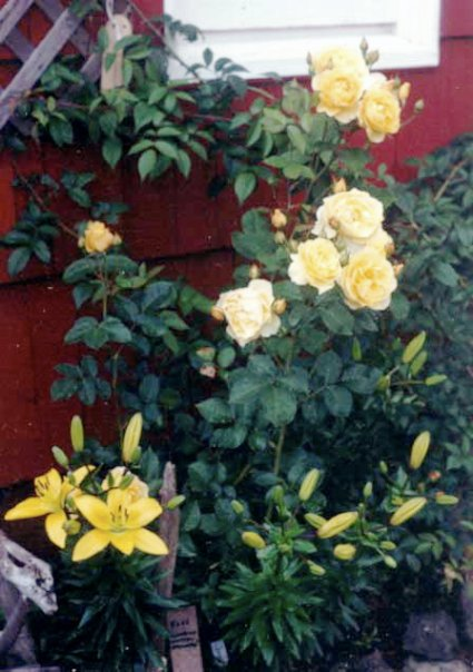 Rose 'Graham Thomas' and lilies