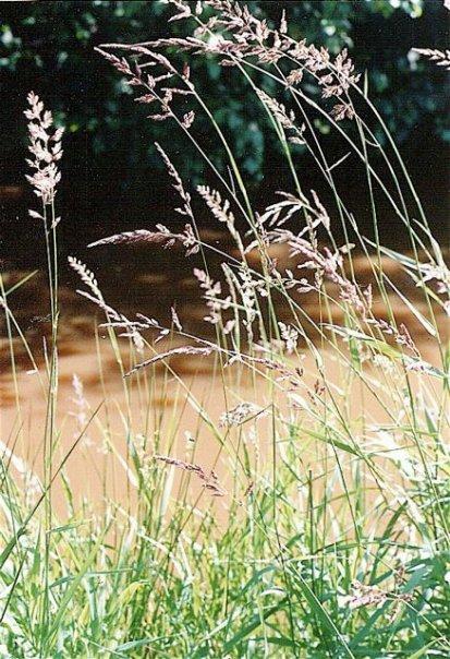 grasses along Holman Creek