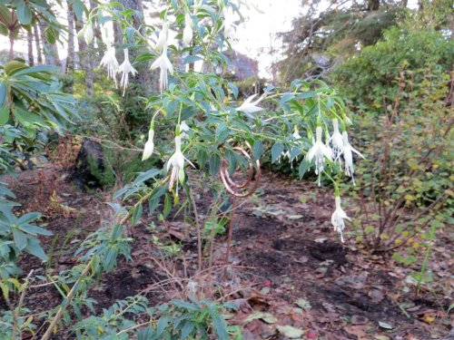 hardy Fuchsia 'Hawkshead'