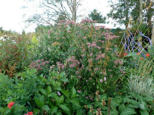 haze of pink with Eupatorium (Joe Pye Weed)