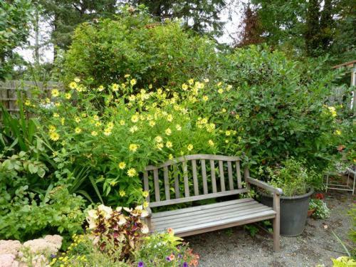 Helianthus 'Lemon Queen' behind the bench