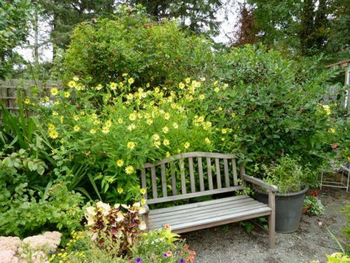Helianthus 'Lemon Queen' behind the bench