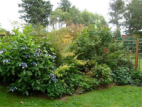 second area of fenced garden.  To the left, Hydrangea 'Izu No Hana'